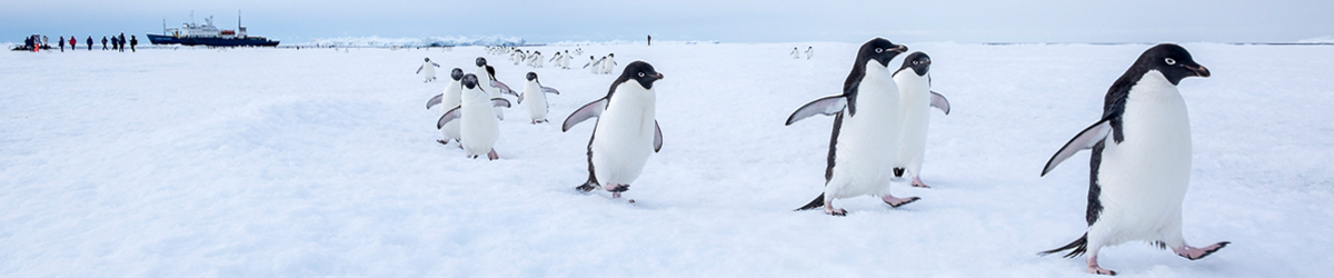 East antarctica expedition cruise from hobart dec 2018 a breniere adelie penguins publicscrutiny Images