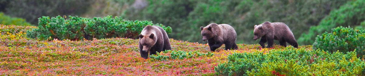 (c) je ross kamchatkan brown bear jewel of the russian far east