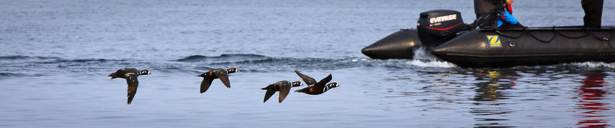 (c) kjones a wake of harlequin ducks