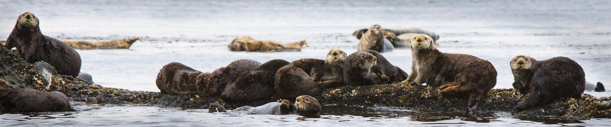 (c) kjones sea otters at paramushir island