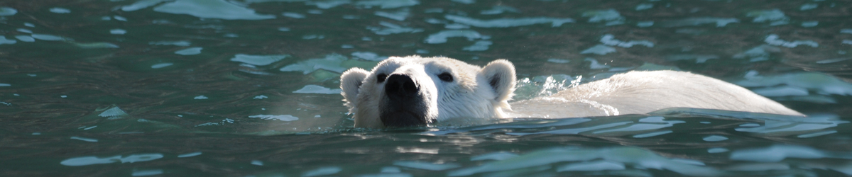 a russ polar bear swimming