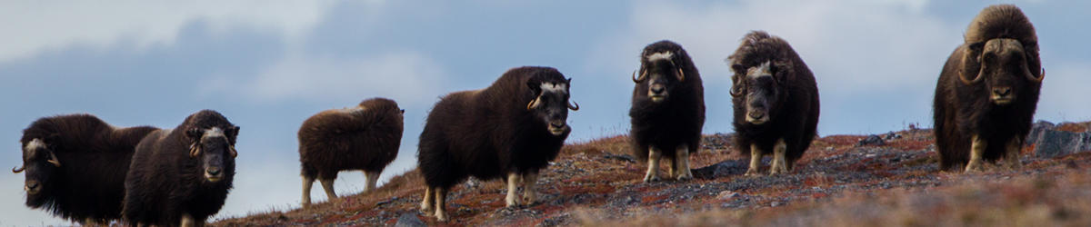 g breton musk ox ...