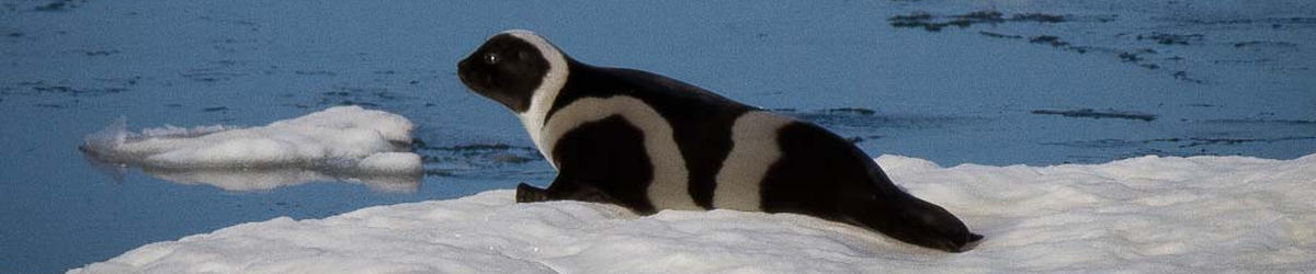 heritage expeditions ribbon seal sea of okhotsk