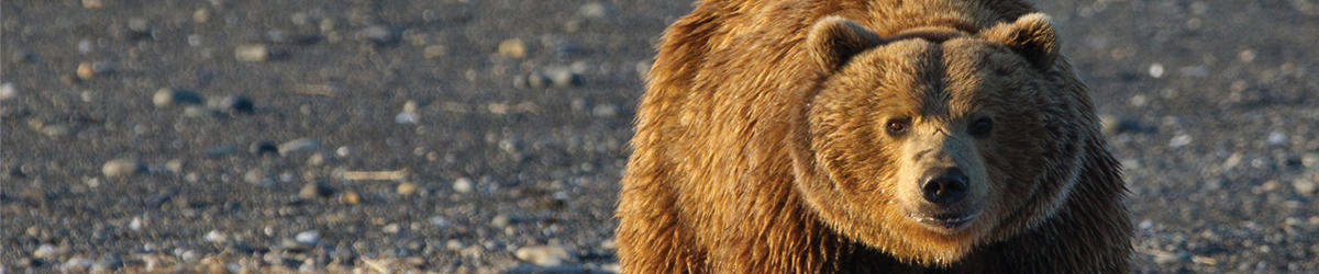 mkelly kamchatka brown bear in the wake of bering