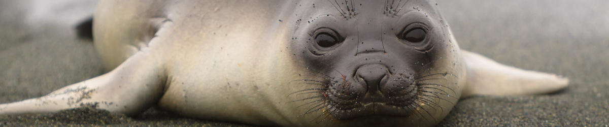 (c) kjones elephant seal pup on macquarie island
