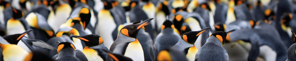 (c) kjones king penguin colony on macquarie island