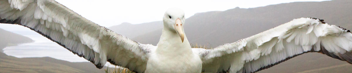 (c) kjones southern royal albatross