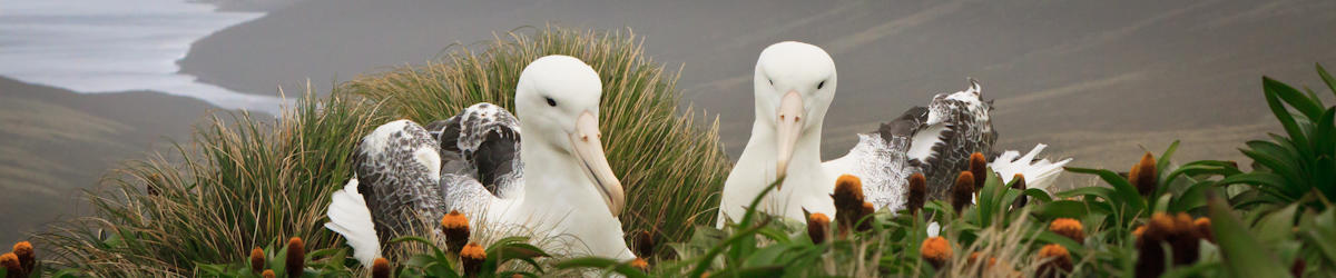 (c) kjones southern royal albatross pair on campbell island