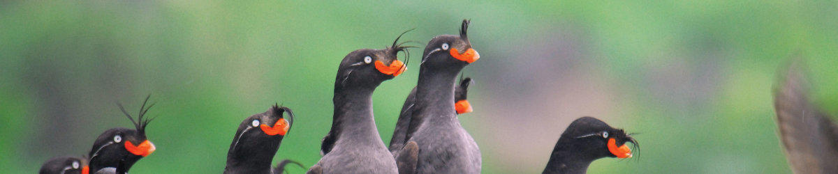 (c) aruss crested auklets