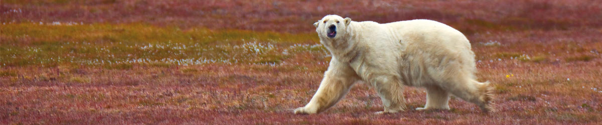 (c) jross polar bear across the top of the world
