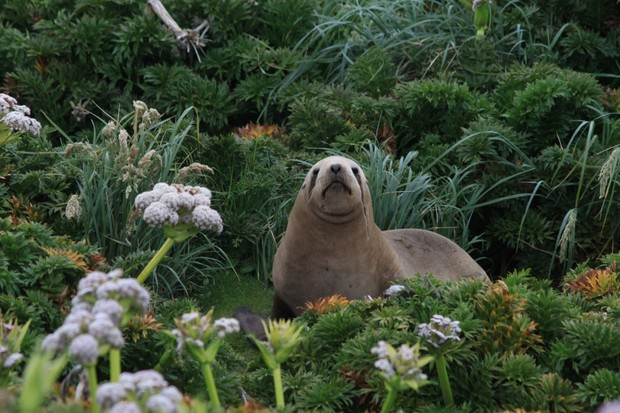 Sea Lion Among Megaherbs_Auckland Islands