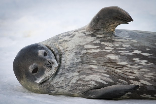 Weddell Seal on Ross Sea ice