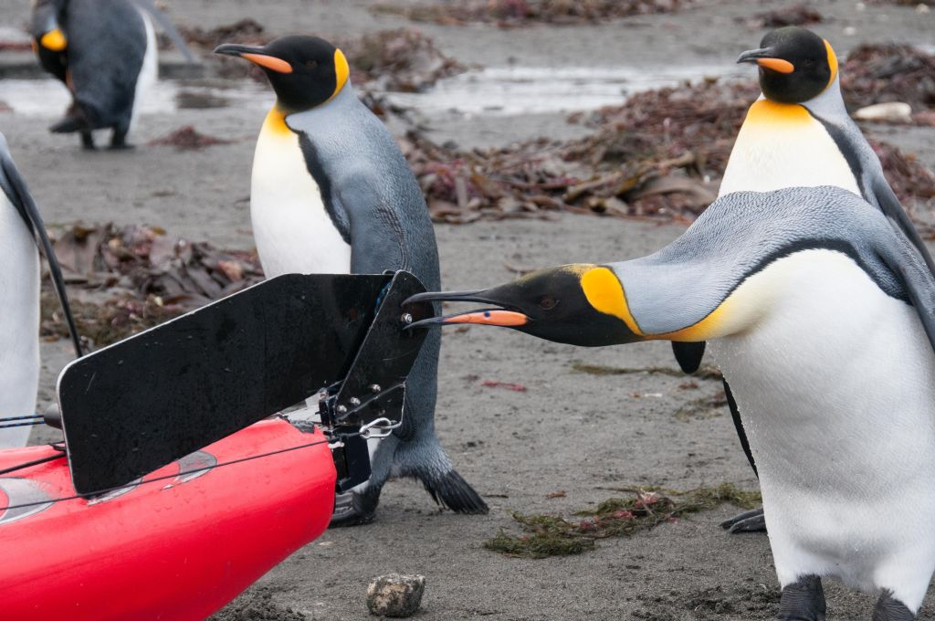 King Penguins and Kayaks, Macquarie Island