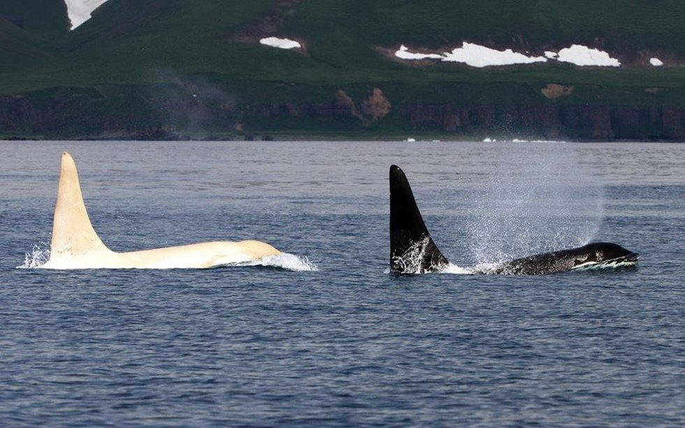 Rare all-white Orcas are occasionally spotted in Kamchatka, Russian Far East