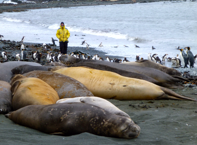 © HAhern 1472 Elephant Seals Sandy Bay Macquarie Island