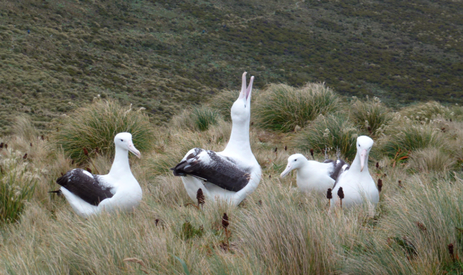 ©Heritage Expeditions 1673 Albatross Campbell Island