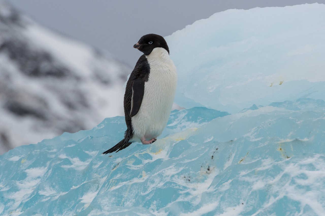 Adelie Penguin Ross Sea