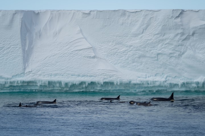 Orca - Ross Sea - Antarctica