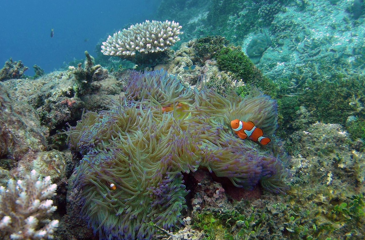 Anemone Fish - Vanikolo - Secrets of Melanesia