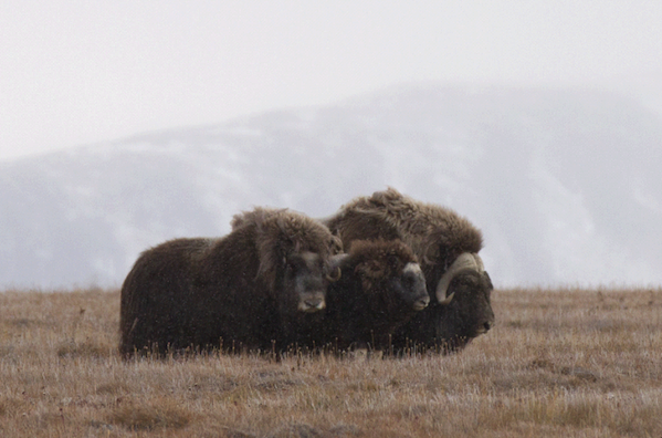 1334 (c) KOvsyanikova Across the Top of the World Muskoxen