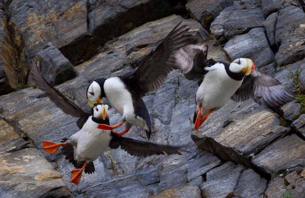 1334 (c) KOvsyanikova Across the Top of the World Puffins