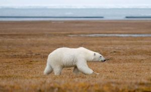 Wrangel Island: Across the Top of the World 29 August 2016