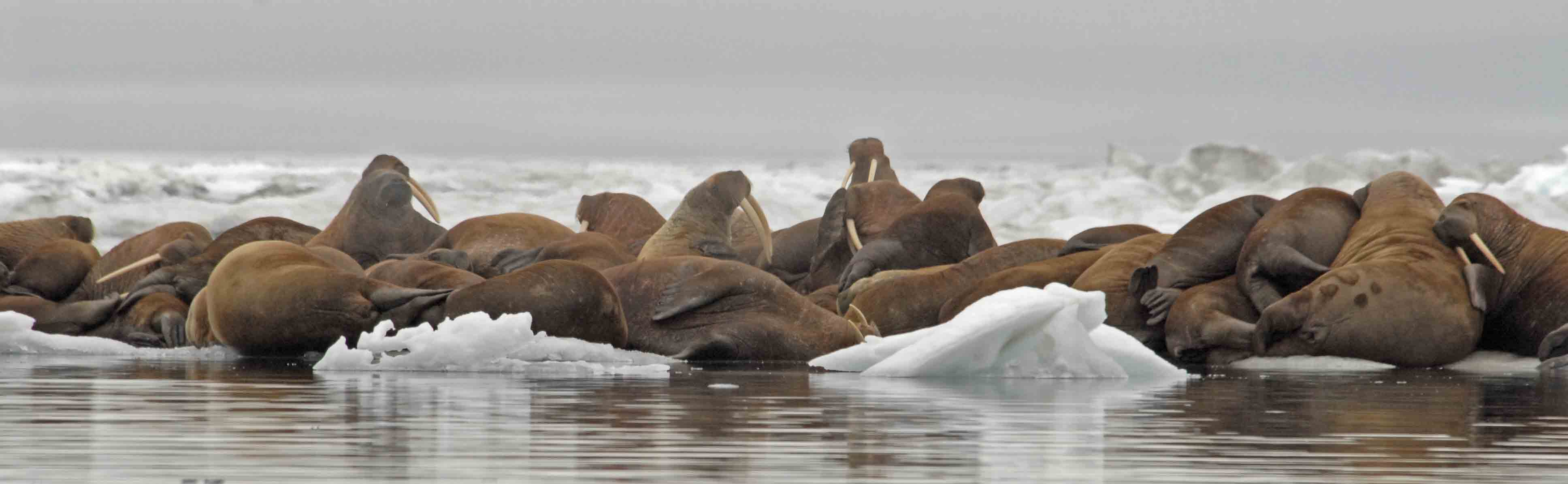 Pacific Walrus on Ice, Wrangel Island