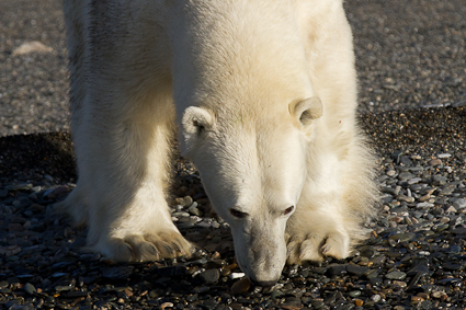 Polar Bear on Beach