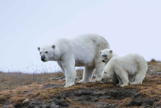©Heritage Expeditions, Polar Bear Islands North East Passage 2017
