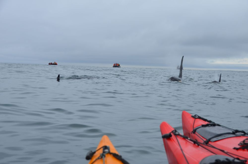 Kayakers onboard Heritage Expeditions' Russia's Ring of Fire voyage are thrilled by a close orca encounter
