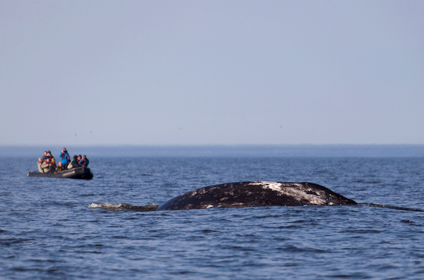 1324 (c) ABreniere Whale Sea of Okhotsk