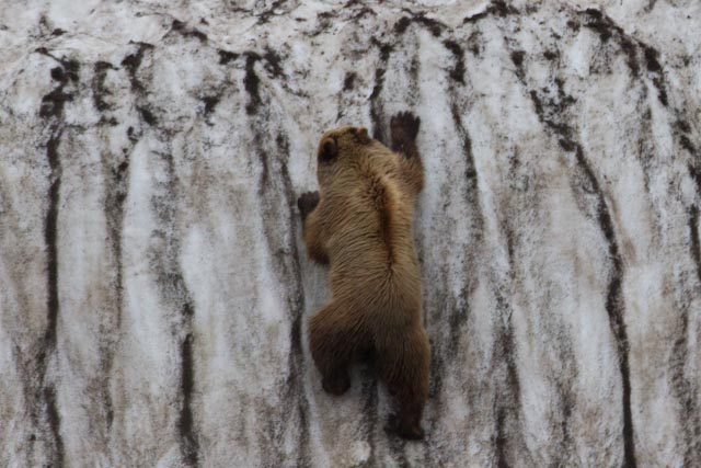 Brown Bear on Ice Wall