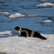 Ribbon Seal in Sea of Okhotsk