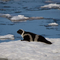 ©Heritage Expeditions Ribbon Seal in Sea of Okhotsk