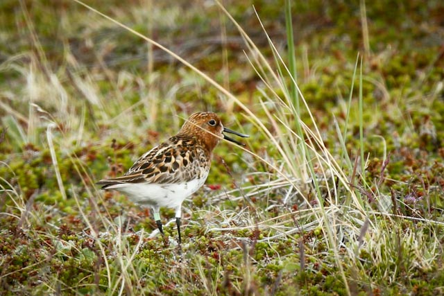 ©MKelly Spoonbilled Sandpiper