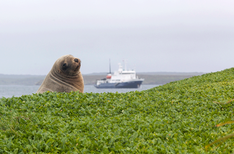 ©Heritage Expeditions Sea Lion and Ship at Enderby Island