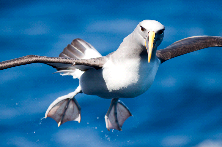 © MKelly Albatross Birding Downunder