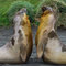 Elephant Seals Macquarie Island