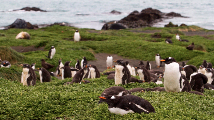 © RSagar Gentoo Macquarie Island 1561