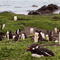 Gentoo Penguin Macquarie Island