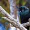 Tui Auckland Islands