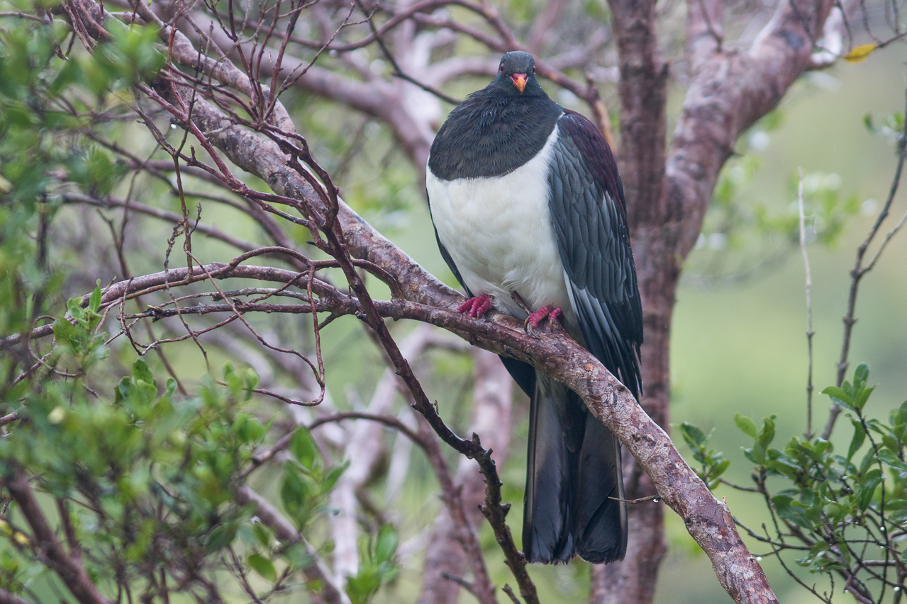 Chatham Islands Pigeon