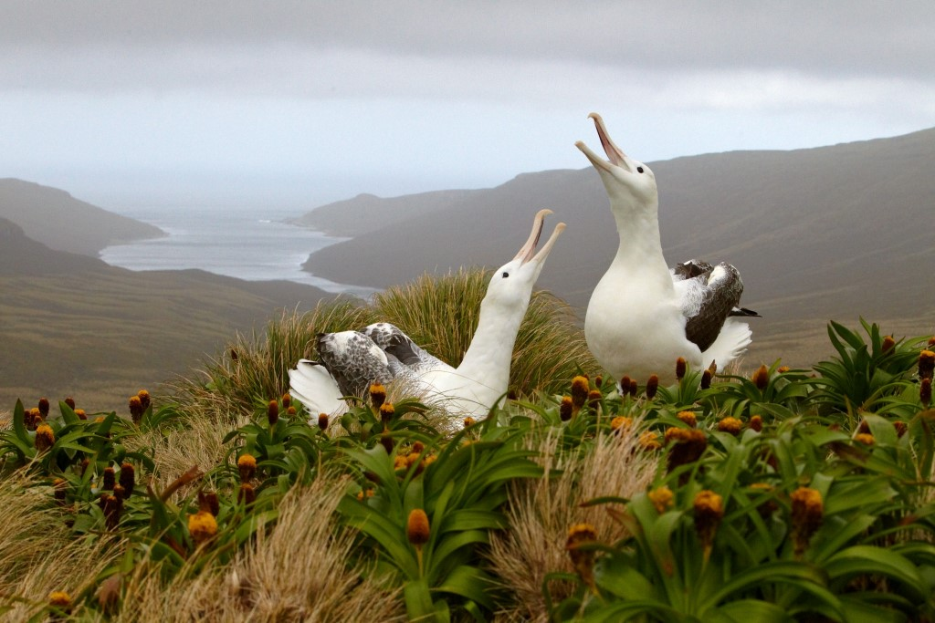 Subantarctic Islands: Birding Down Under 16 November 2016