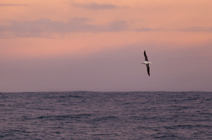 (c) ABreniere 1363 Albatross at Sunset