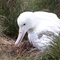 Southern Royal Albatross Campbell Island