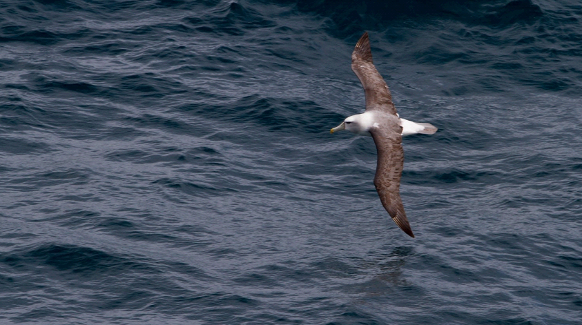 ©RSagar 1563 Albatross at Sea