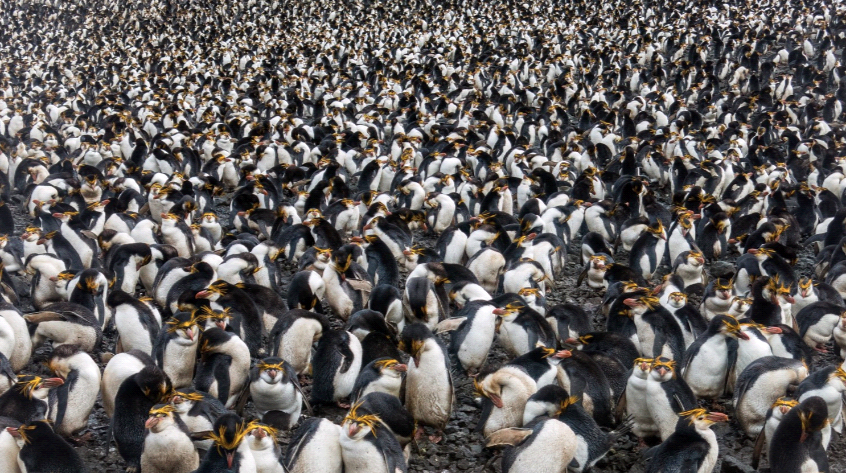 ©RSagar 1563 Royal Penguins Sandy Bay Macquarie Island