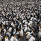 Royal Penguins Macquarie Island