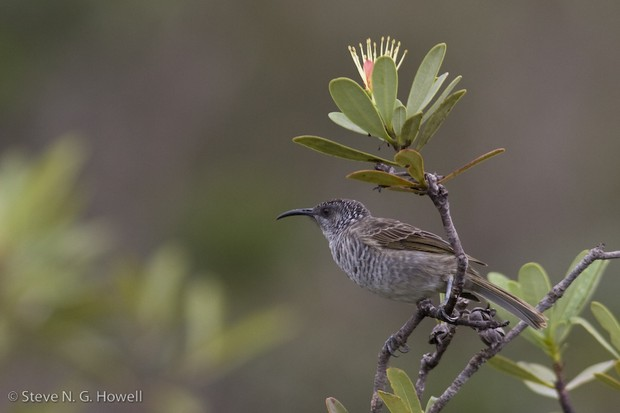 Barred Honeyeater, New Caledonia
