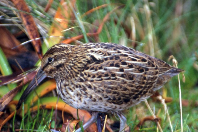 Auckland Island Snipe: Auckland Island Snipe, seen on Enderby Island in increasing numbers after the major restortation of the island.